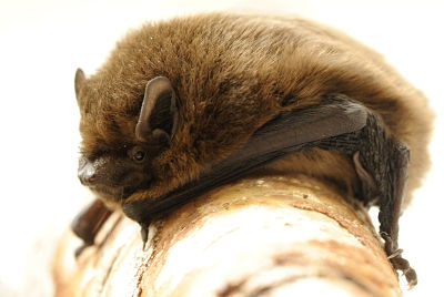 Common Pipistrelle 2 - Amy Lewis