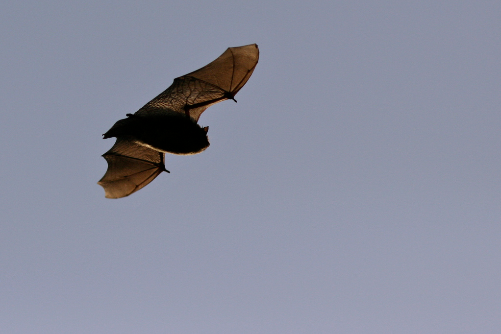 Nathusius_RoryTallack_Flickr